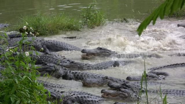 group of alligators - alligator stock videos & royalty-free footage