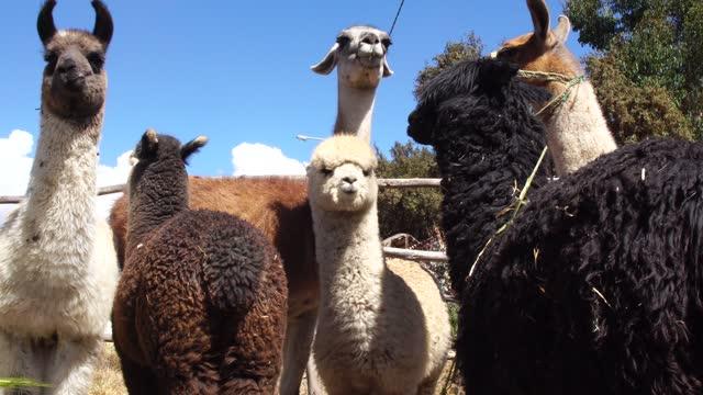 group of alpacas in peru - herbivorous stock videos & royalty-free footage