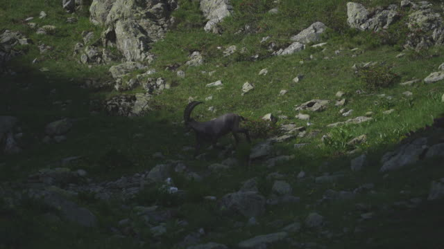 group of alpine ibex foraging in the mountains - small group of animals stock videos & royalty-free footage