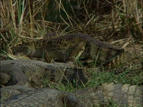 group of american alligators resting at a riverbank (alligator mississipiensis) - aquatic organism stock videos & royalty-free footage