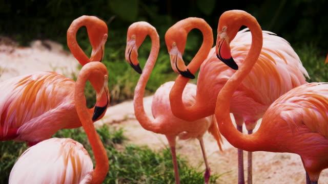 stockvideo's en b-roll-footage met groep van de amerikaanse flamingo bird of caribbean flamingo (phoenicopterus ruber) een kudde van mooie sinaasappel vogels in het meer - wilde dieren