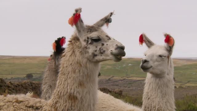 a group of andean llamas, altiplano, bolivia - lama oggetto creato dall'uomo video stock e b–roll