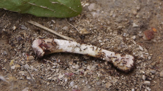 Group of ant gnaws bone