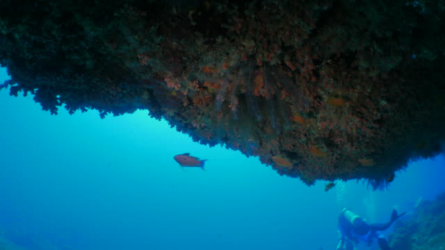 Group of anthesis fish undersea coral pinnacle
