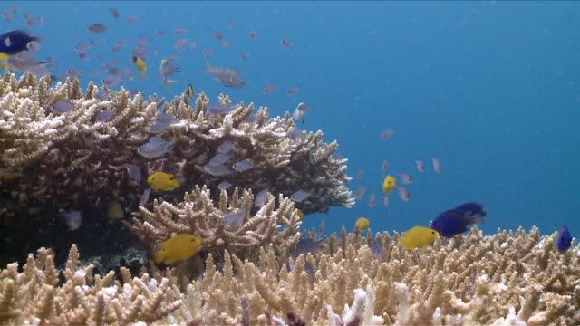 ms group of anthias and other fish swim over hard coral / visayan islands, the visayans, philippines   - hard coral stock videos & royalty-free footage