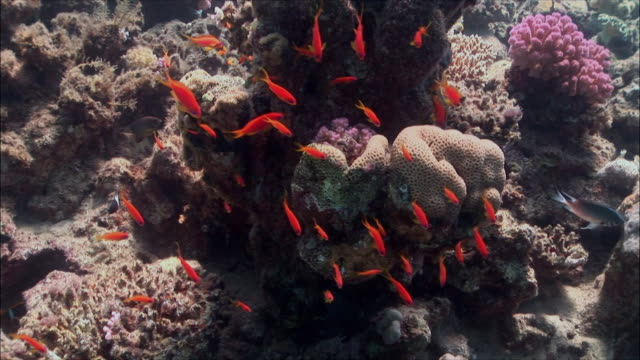 MS Group of Anthias (Shoaling Anthias) over coral reef in Red Sea / Sharm-el-Sheikh, Egypt