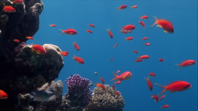 WS LA Group of Anthias (Shoaling Anthias) over coral reef in Red Sea / Sharm-el-Sheikh, Egypt