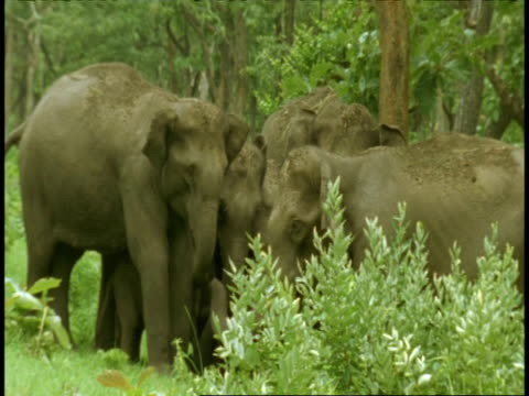 ms group of asian elephant, elephas maximus, in forest, western ghats, india - vier tiere stock-videos und b-roll-filmmaterial