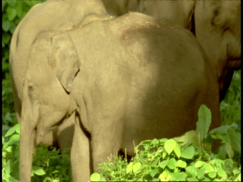 cu group of asian elephant, elephas maximus, in rainforest, western ghats, india - vier tiere stock-videos und b-roll-filmmaterial