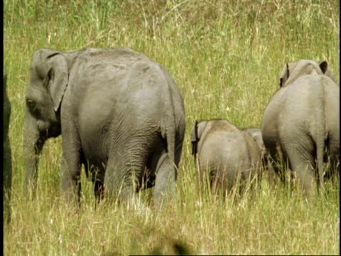ms group of asian elephant, elephas maximus, standing in long grass, western ghats, india - cinque animali video stock e b–roll