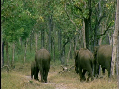 wa group of asian elephant, elephas maximus, walking through forest away from camera, western ghats, india - small group of animals stock videos & royalty-free footage