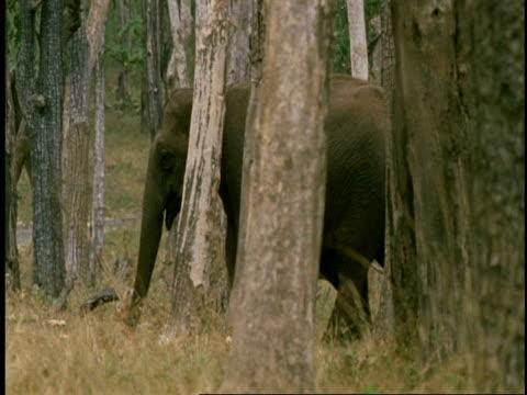 vídeos de stock e filmes b-roll de ms group of asian elephant, elephas maximus, walking through forest, western ghats, india - nariz de animal