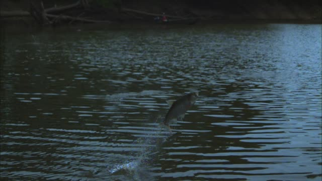 SLOMO PAN group of Asian Silver Carp jumping out of river revealing fisherman in background