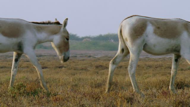 group of asiatic wild ass walking through dry grass field - 子馬点の映像素材/bロール