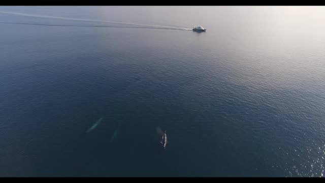 group of at least 7 fin whales were spotted in gulf of corcovado in chile by a yacht and captured with a drone. such magnificent drone footage! they... - fin whale stock videos & royalty-free footage