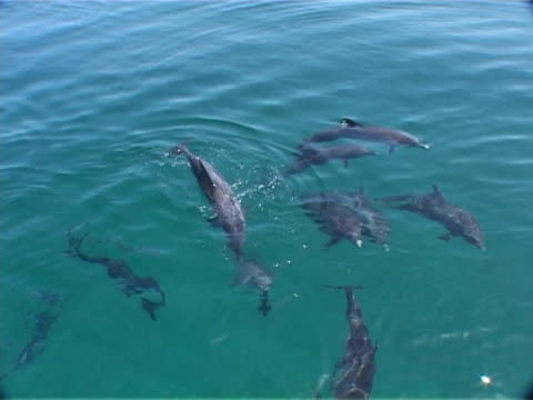 Group of Atlantic spotted dolphins