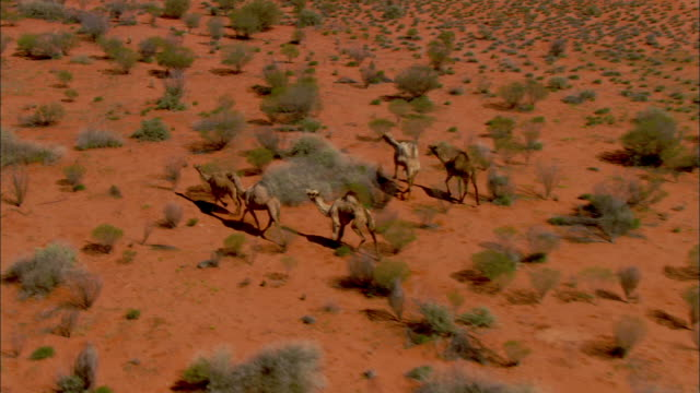 aerial ts group of australian feral camels crossing simpson desert, northern territory, australia - australia stock videos & royalty-free footage