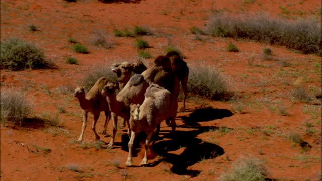 vidéos et rushes de aerial ts group of australian feral camels crossing simpson desert, northern territory, australia - chameau