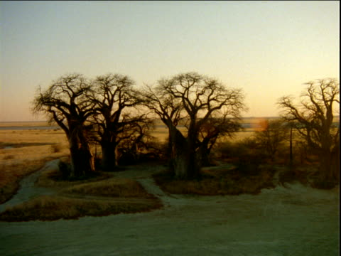 Group of baobab trees at edge of salt pan in desert.