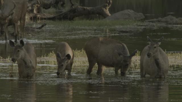 group of barasingha deer feed in swamp, india. - doe stock videos & royalty-free footage
