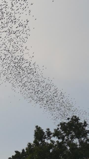 vídeos y material grabado en eventos de stock de grupo de murciélago volando en el cielo. - manada
