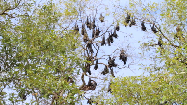 ms group of bats hanging on tree branches / northern territory, australia - wiese stock videos & royalty-free footage
