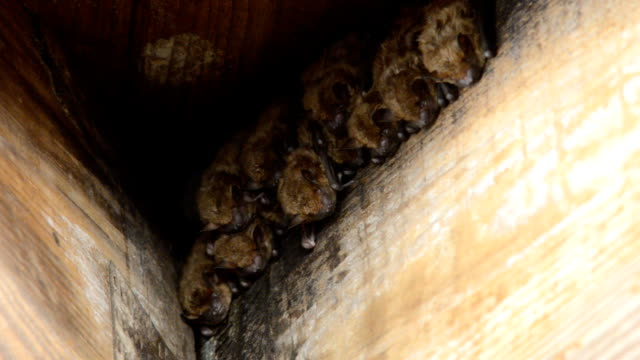 Group of bats roosting in wood roof joist corner