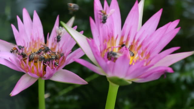 Group of bee with water lily