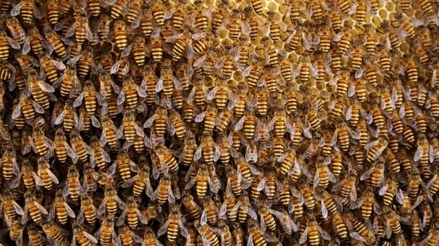 group of bees working on honeycombs in beehives - bee stock videos & royalty-free footage