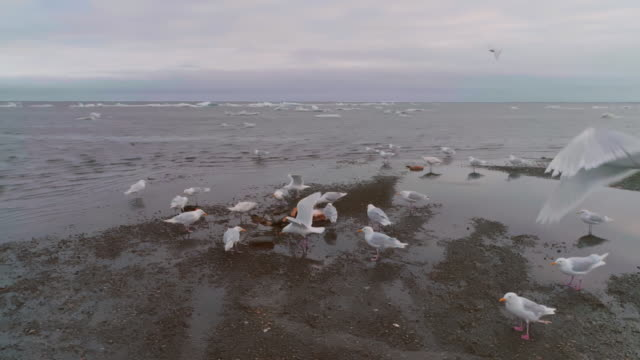 Group of birds eating whale meat in North Pole
