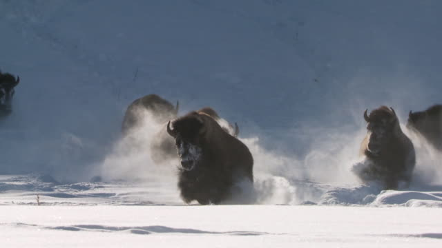 vídeos de stock e filmes b-roll de ms zi group of bison running in deep snow / yellowstone national park, wyoming, united states - bisonte americano