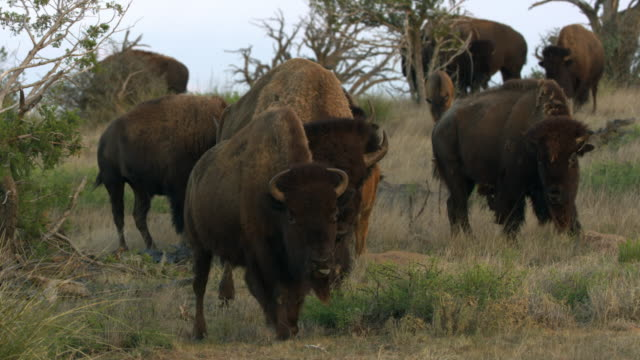 group of bisons in grassy area - アメリカバイソン点の映像素材/bロール