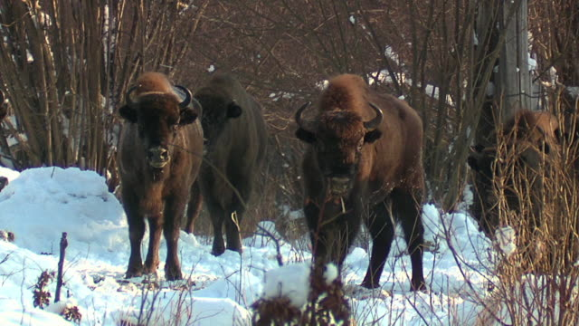 group of bisons in winter - bisonte americano video stock e b–roll