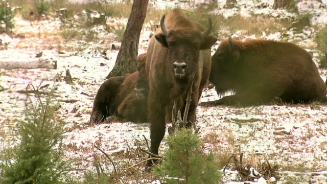 group of bisons in winter - horned stock videos & royalty-free footage
