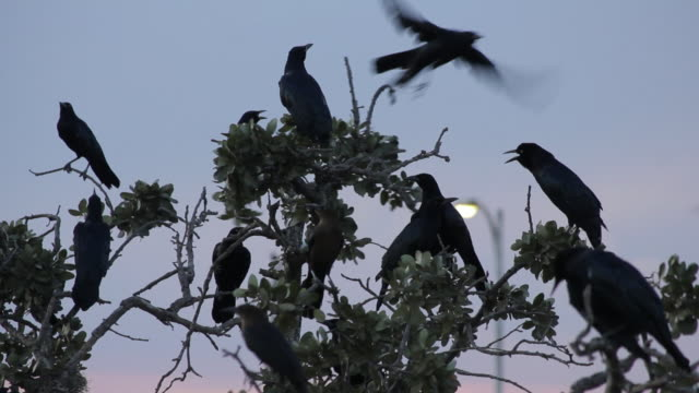 Group of black crows perched on branches in a tree