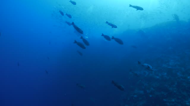 Group of black snapper fish in coral reef