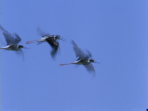 a group of black-necked stilts - stilts stock videos and b-roll footage