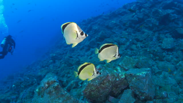 Group of Blacknosed butterflyfish (Barber)