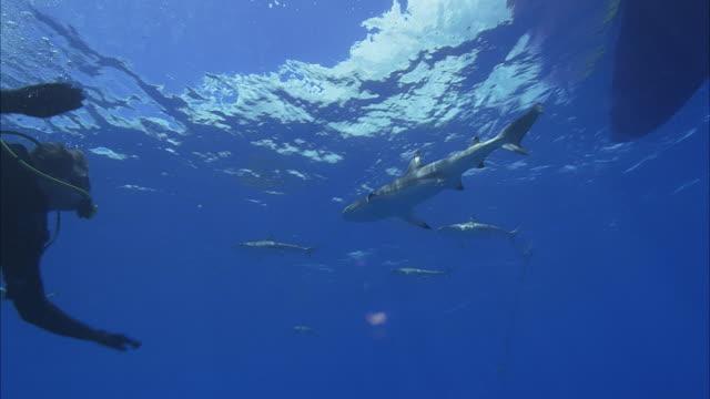 ws la ms group of blacktip reef sharks (carcharhinus melanopterus) and diver swimming in ocean / moorea, tahiti, french polynesia - moorea stock videos & royalty-free footage