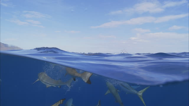 vidéos et rushes de slo mo ms group of blacktip reef sharks (carcharhinus melanopterus) swimming at water surface, searching for food / moorea, tahiti, french polynesia - french overseas territory
