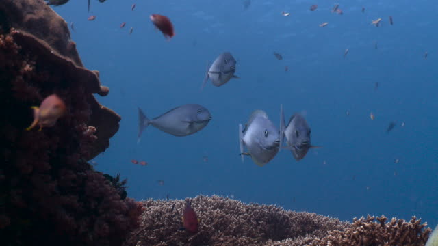 group of blacktongue unicornfish on reef, bali. - angelfish stock videos & royalty-free footage