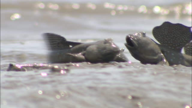 group of blue spotted mud hoppers hopping on mud flats - mudskipper stock videos and b-roll footage