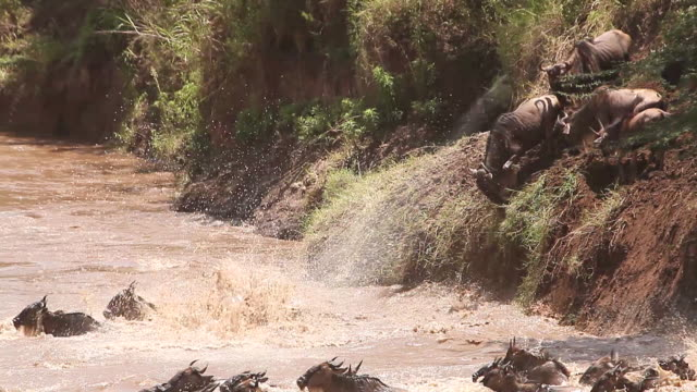 ms group of blue wildebeest crossing river during migration / national park, africa, kenya - wildebeest stock videos & royalty-free footage