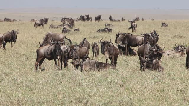 ws group of blue wildebeest herd standing through savanna during migration / national park, africa, kenya - herbivorous stock videos and b-roll footage