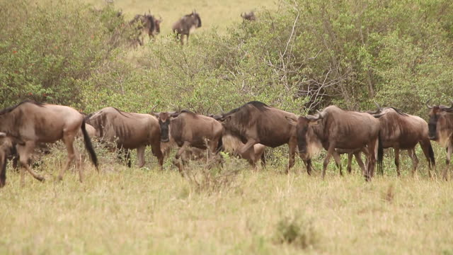 ws group of blue wildebeest herd walking through savanna during migration / national park, africa, kenya - herbivorous stock videos and b-roll footage