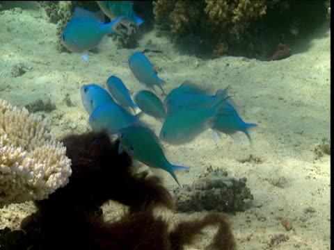 Group of blue-green chromis spawn onto seaweed, Tonga