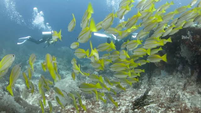 vidéos et rushes de groupe de bluelined snappers piscine à proximité de coral reef - petit groupe d'animaux