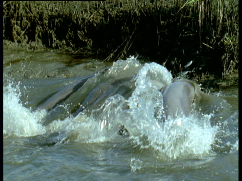 group of bottle nosed dolphins beach themselves in order to catch fish on shore, south carolina - seicht stock-videos und b-roll-filmmaterial