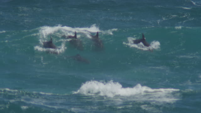 group of bottlenosed dolphins riding in surf wave and visible underwater - cetacea stock videos & royalty-free footage