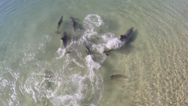 ha group of bottlenosed dolphins turn and swim away from a fish  - tursiope video stock e b–roll